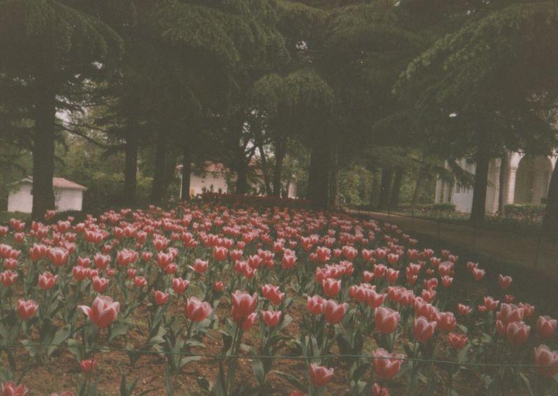 large_7189374-Tulips_Emirgan_Park_Istanbul.jpg