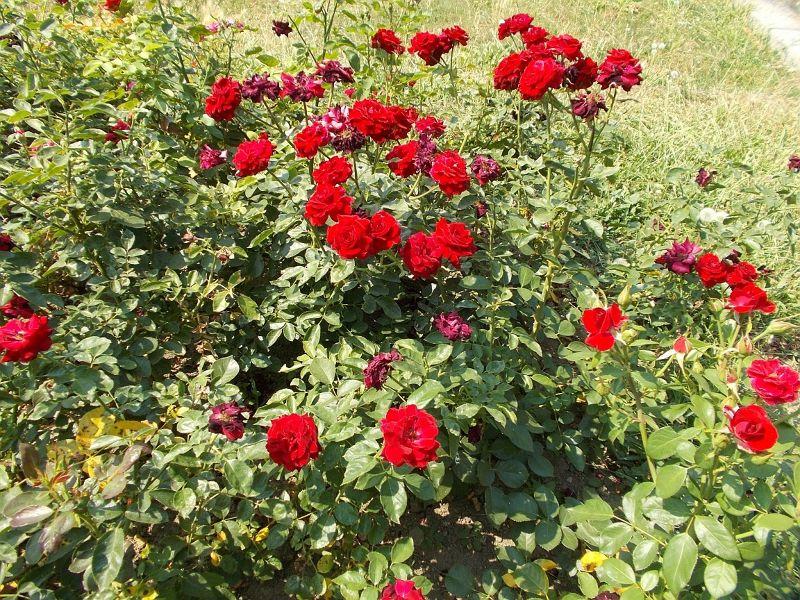 large_7445735-Sweet_smelling_Serbian_roses_Belgrade.jpg