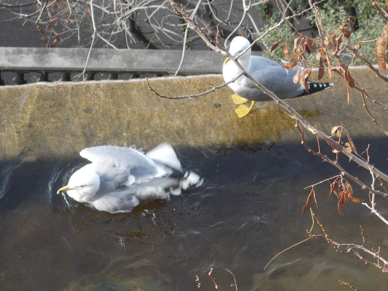 Seagulls swimming in the cascade. - Nice