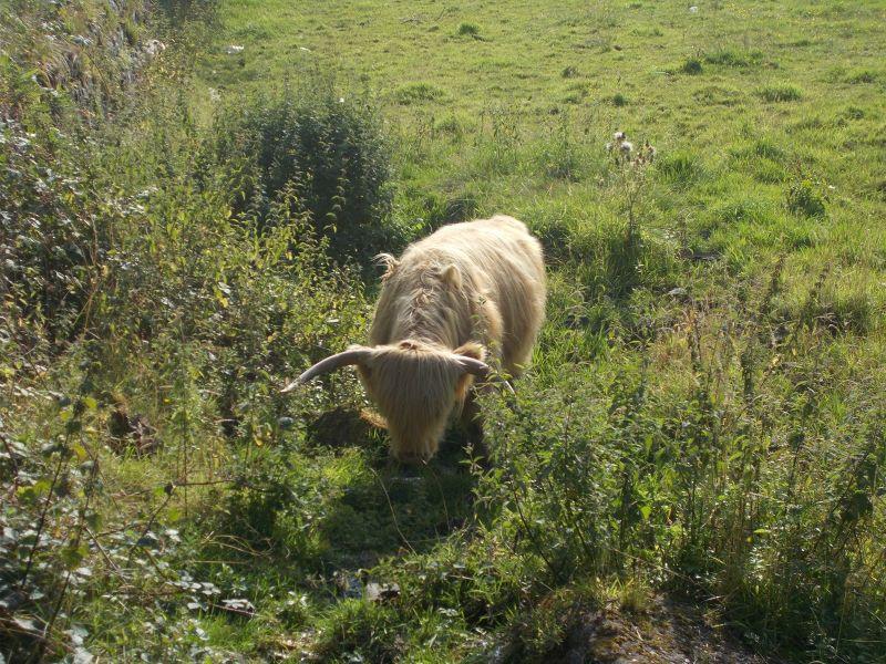 Highland cattle. - Stirling