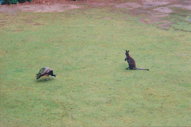 large_988550836762366-Kangaroo_and..f_Tasmania.jpg