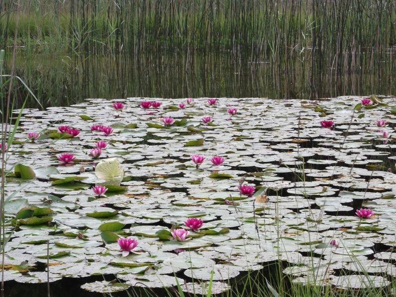 Waterlillies near the Schwannsee. - Fussen