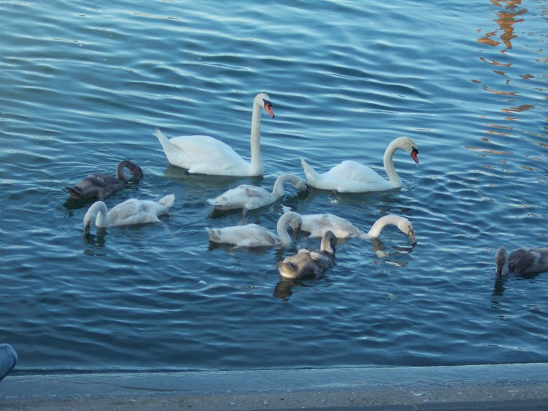 Family of swans on the Main.