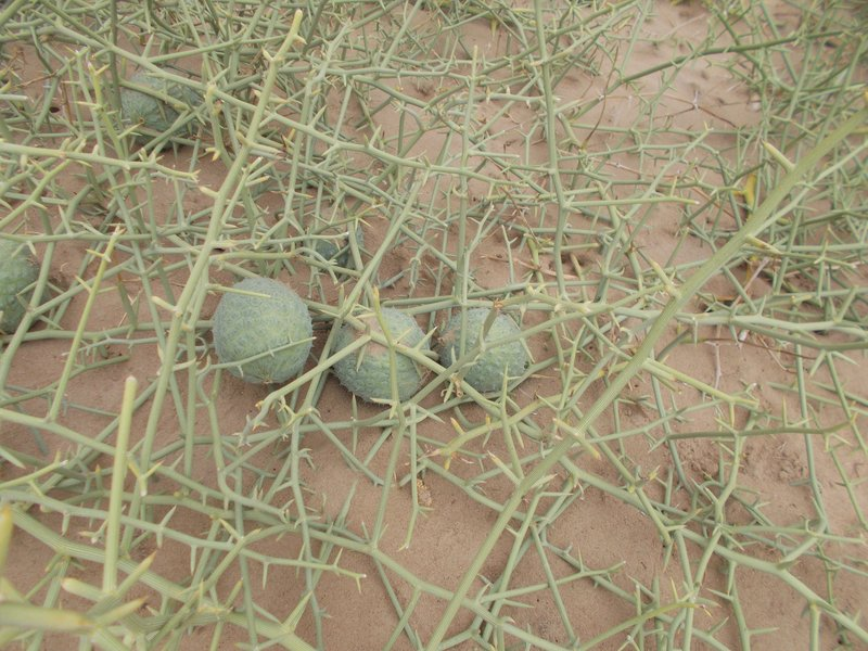Nara melon.