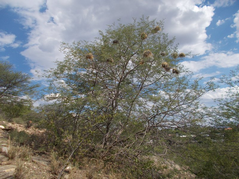 I saw so many nest filled trees. Are they the nests of weaver birds?