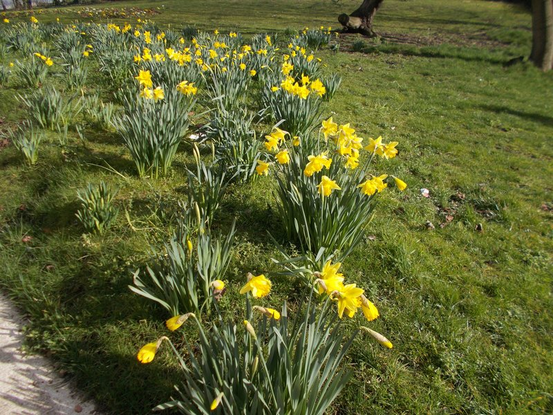 Leeds in bloom, daffodils near our hotel.