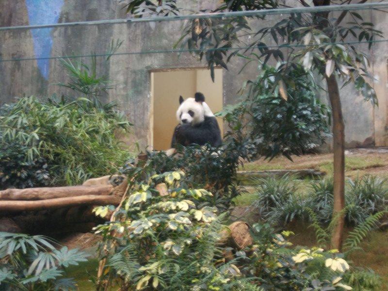 Giant Pandas.