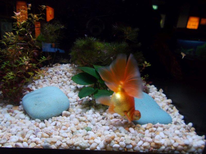 Well bred Goldfish.