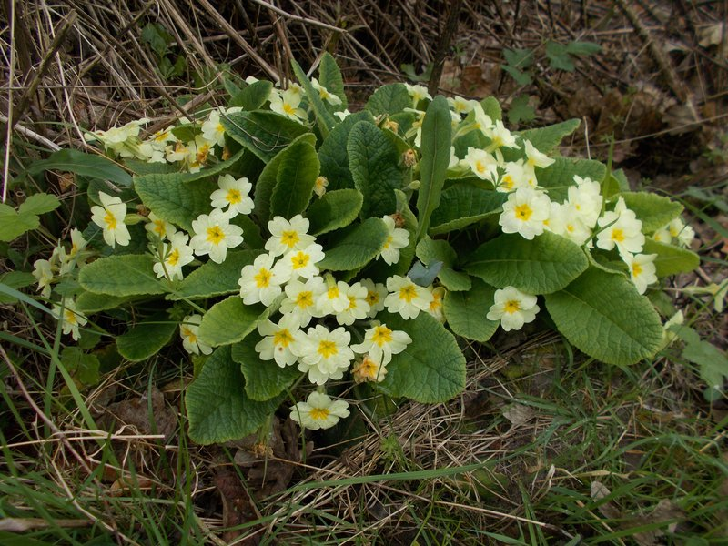 Primroses by the lake.