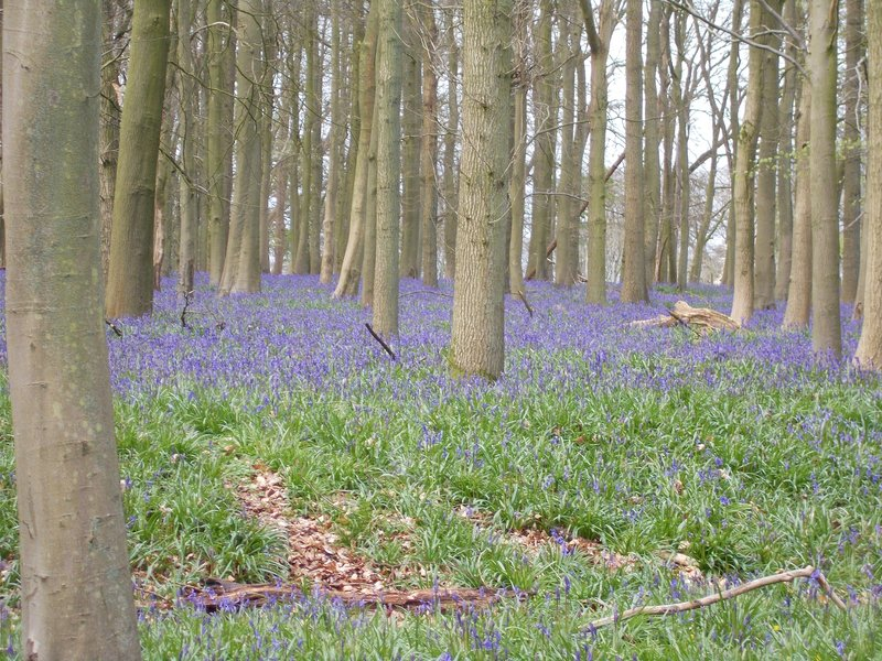 The bluebell woods.