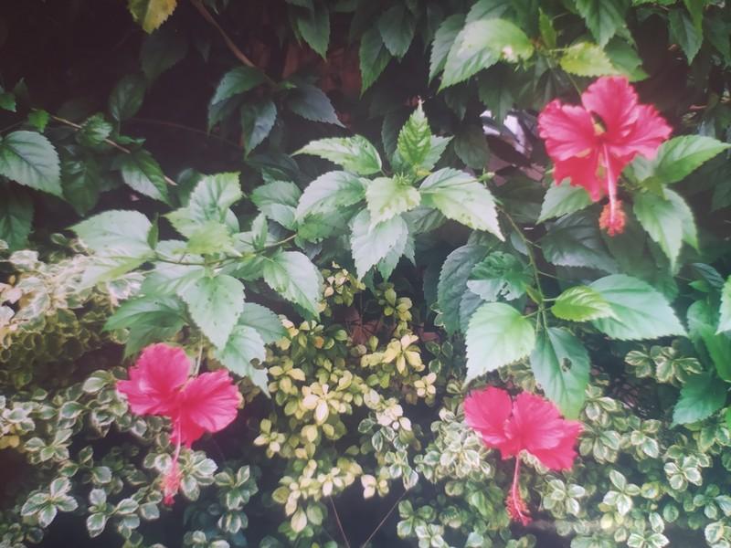 Marvellous Malaysia, hibiscus in Kota Kinabalu.