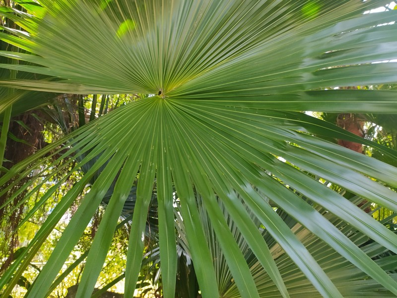 Chinese Fan Palm Leaves.