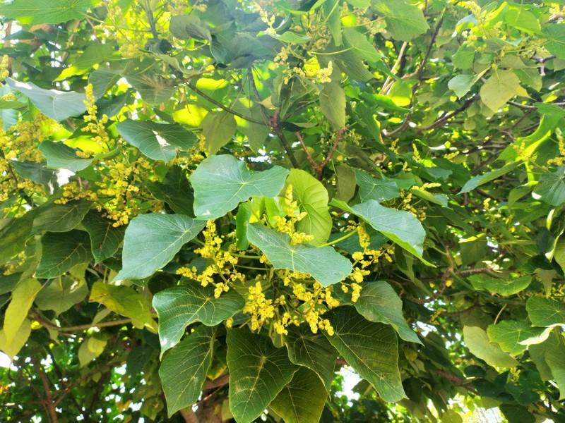 Macaranga tanarius Flowers.
