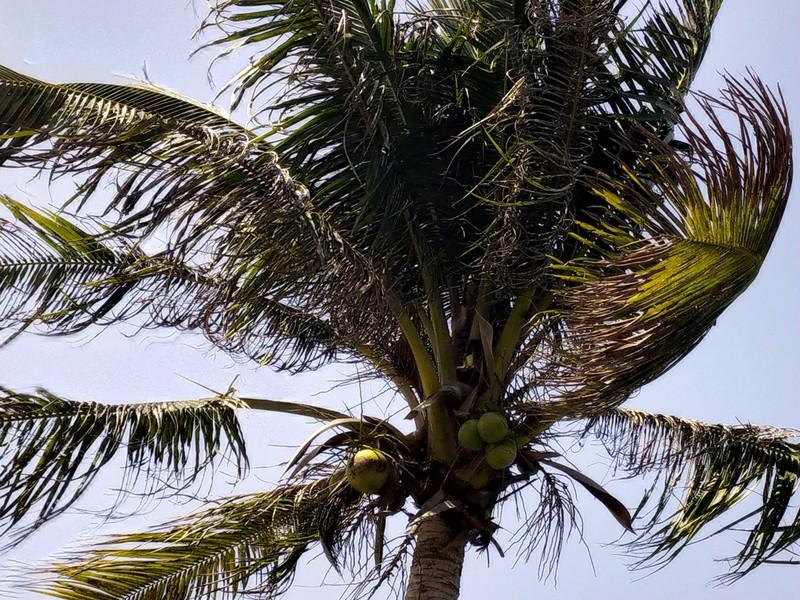 Coconut Palms.
