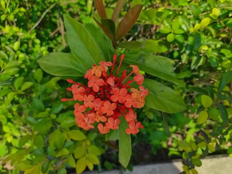 Chinese Ixora Flowers.