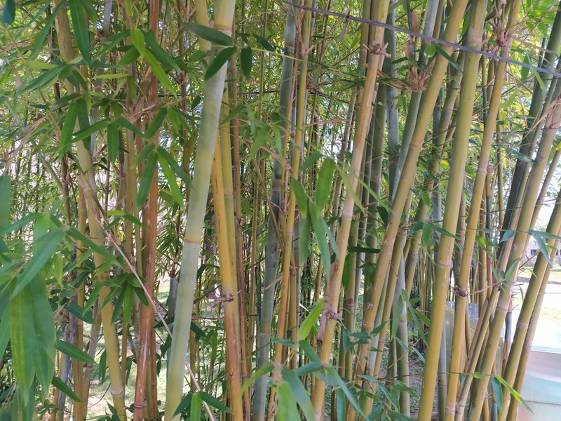 Bamboo is plentiful here.