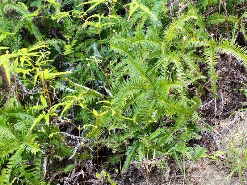 Ferns.