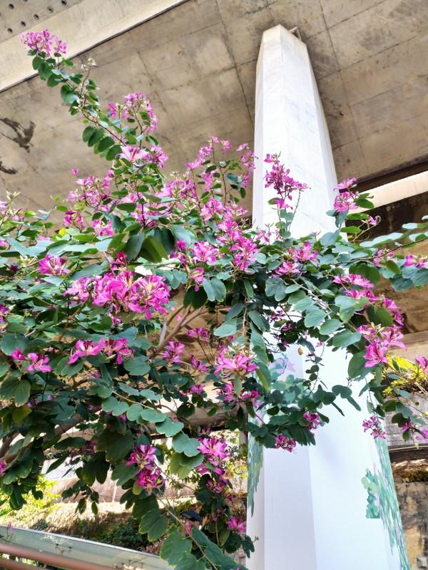 Beautiful Bauhinia Tree.