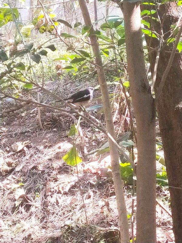 Bird, possibly an oriental magpie robin.