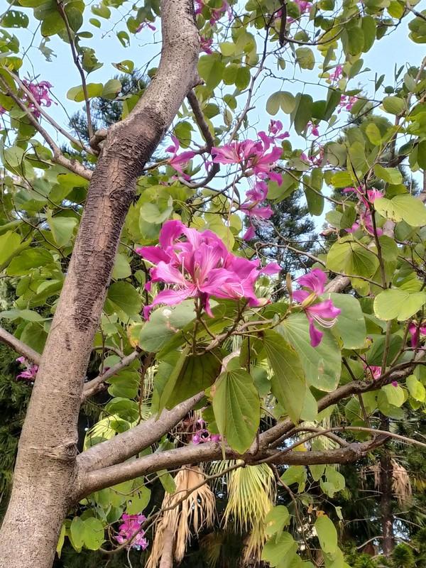 Bauhinia Tree.