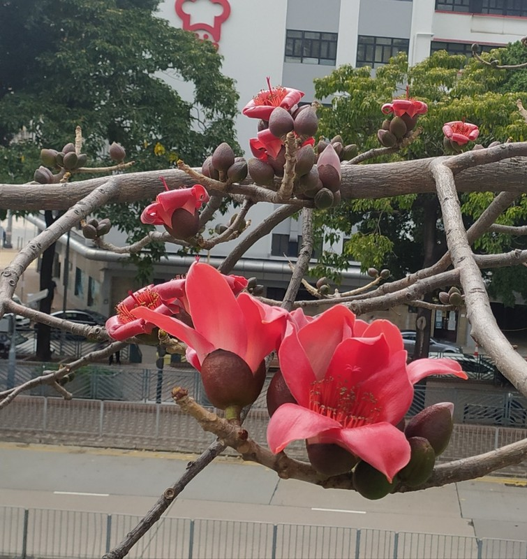 Cotton Tree.