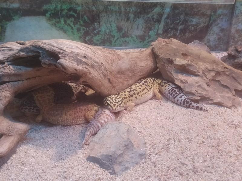 Leopard Geckos.