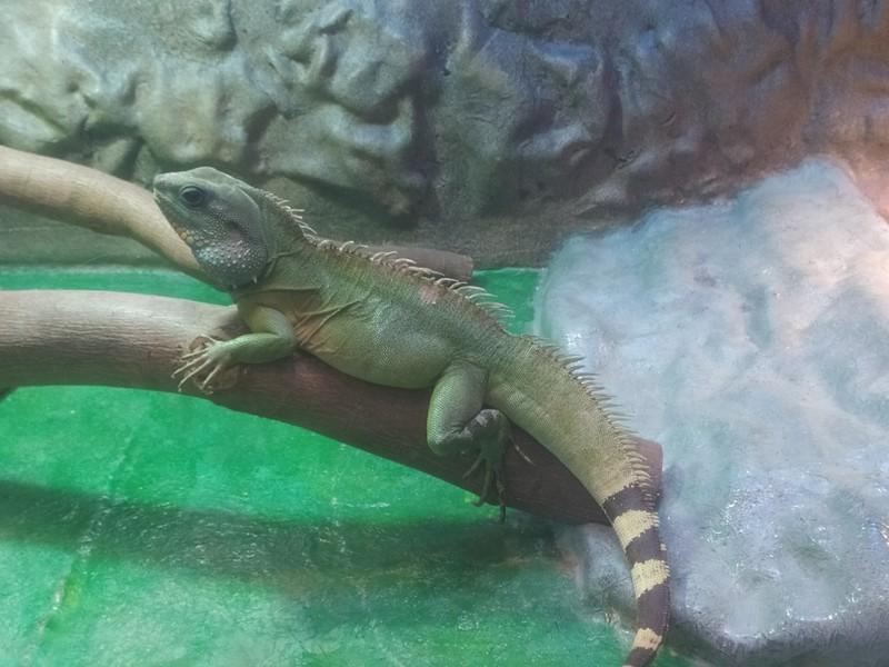 Chinese Water Dragon.