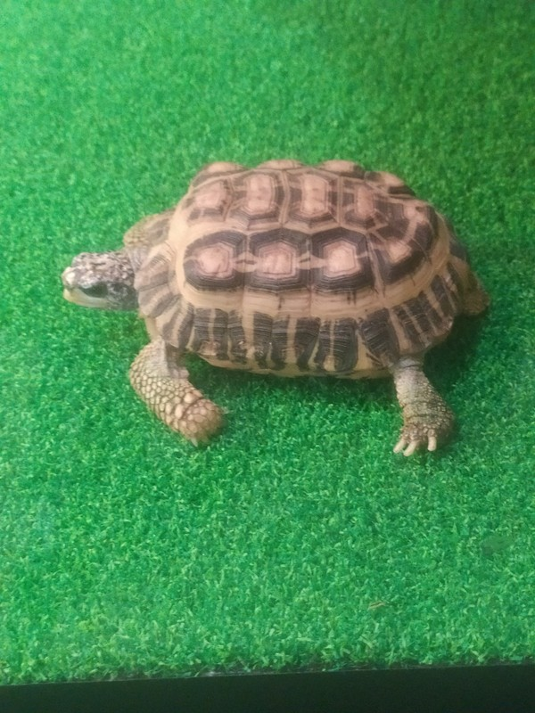 Flat-topped Spider Tortoise.