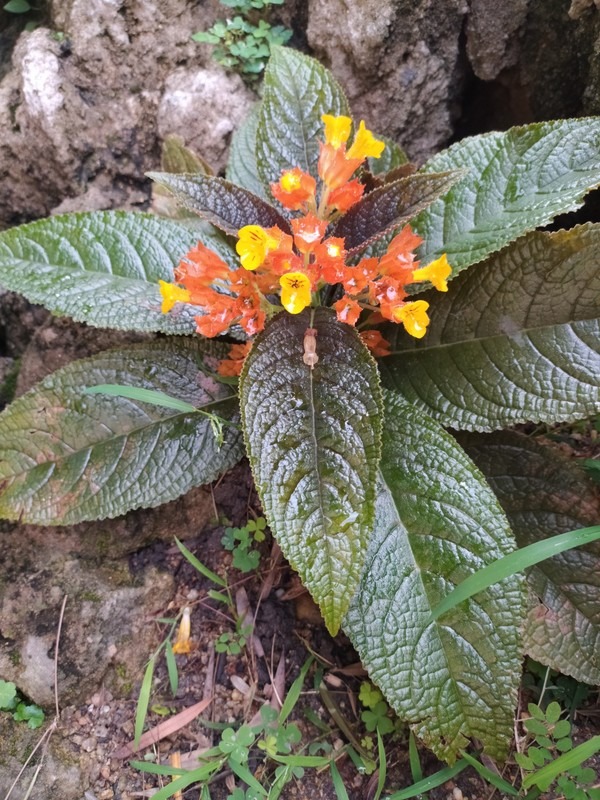 Beautiful Alloplectus flower in the garden.