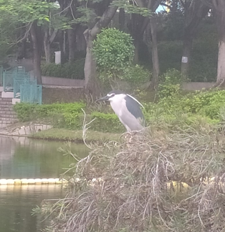 Real Bird, apparently it's a black crowned night heron.