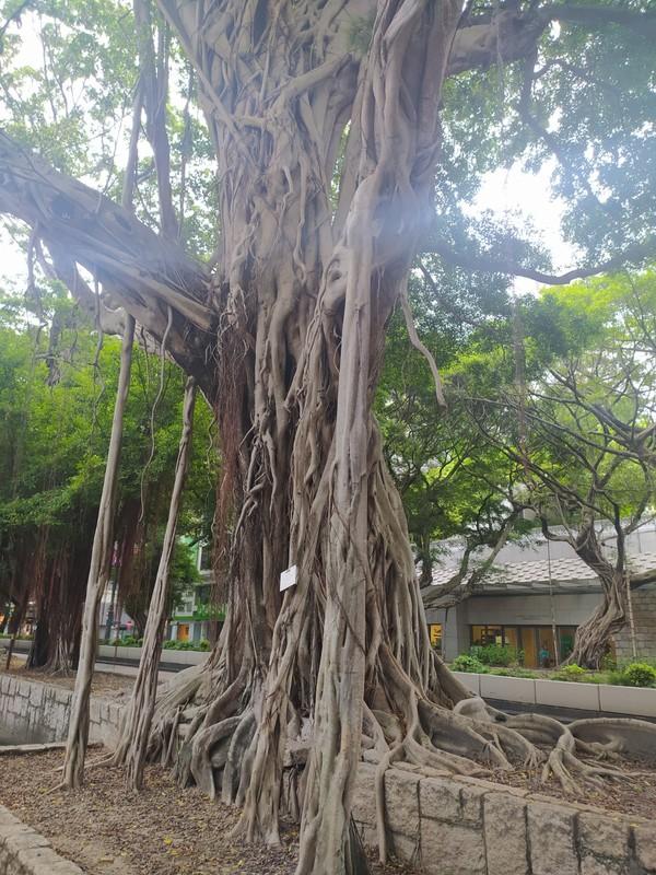 Wonderful old tree on Nathan Road.
