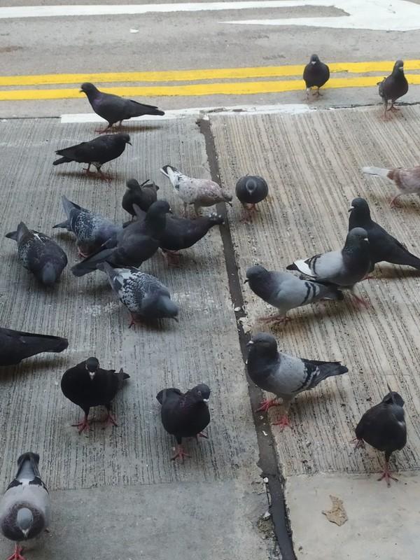 A Flock of Pigeons.