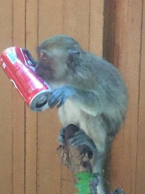 Monkeys on coke
