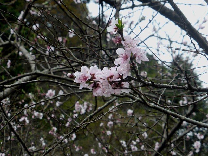 a cherry blossom!