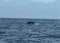 Whale at Porta Vallarta