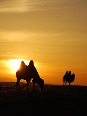 Gobi - Camels (sunset)