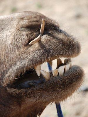 Gobi - Camel (detail)