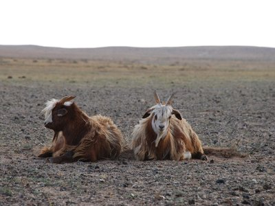 Gobi - A couple of goats