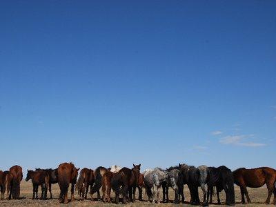 Gobi - Horses