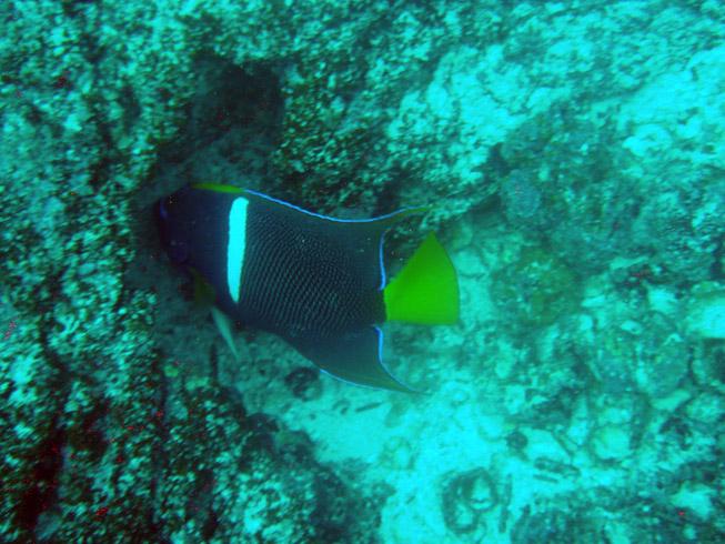 Galapagos - King angel fish