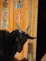 Gobi - Goat
