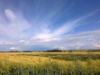 Boerde near Magdeburg sunny cornfield