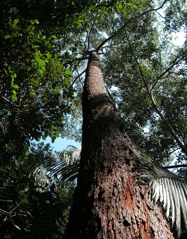 Red Meranti Tree