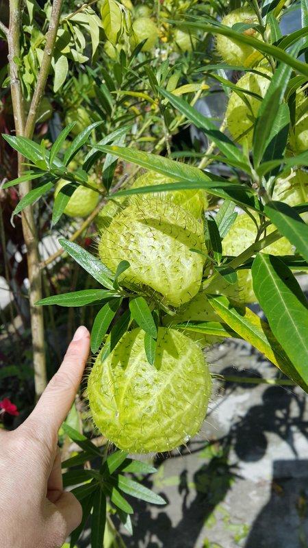 Big hairy fruits