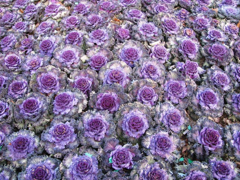 Purple cabbage flowers