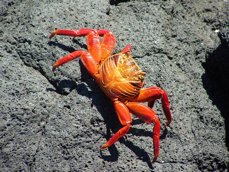 A Real Crab