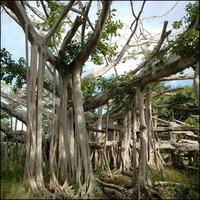 The banyan tree