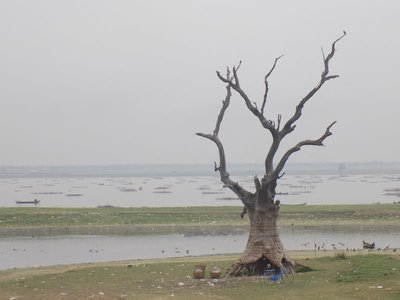 Amarapura tree
