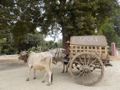 cow taxi