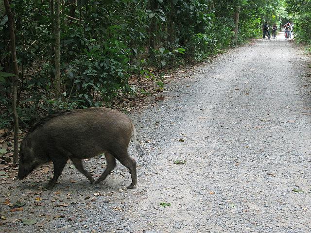Wild boar!